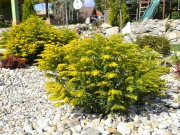 Solidago canadensis Goldking