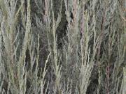 Juniperus scopulorum Scyrocket so strieborným ihličím dotvára farebnosť jesene
