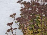Sedum telephium je aj po odkvete pýchou záhrady