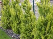 aj žltozelená farba tují je oživením záhrady