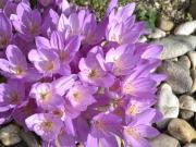 Crocus (colchicum) autumnale
