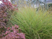 kontrast Cotinus coggygria a Miscanthus sinensis