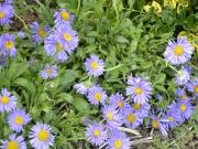 aster aplinus-astra alpská modrá