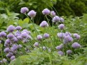pažítka v bylinkovej záhrade