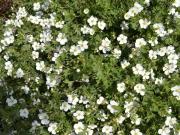 potentilla fruticosa-nátržník krovitý