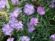 dianthus gratianopolitanus-klincek sivy